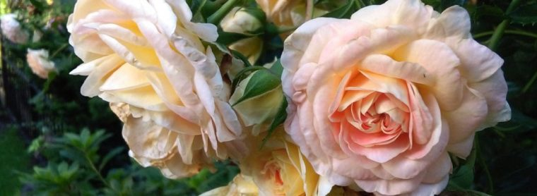 cropped-sunday-walk-roses.jpg